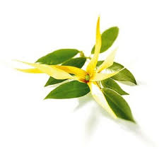 cananga essential oil
